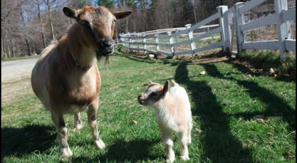 CUTENESS OVERLOAD: 1 Day Old Baby Goat Leaps Through First Walk!