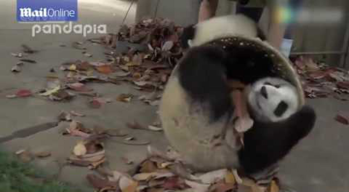 The cute pandas run rings around the staff who try to clear up their mess (video)