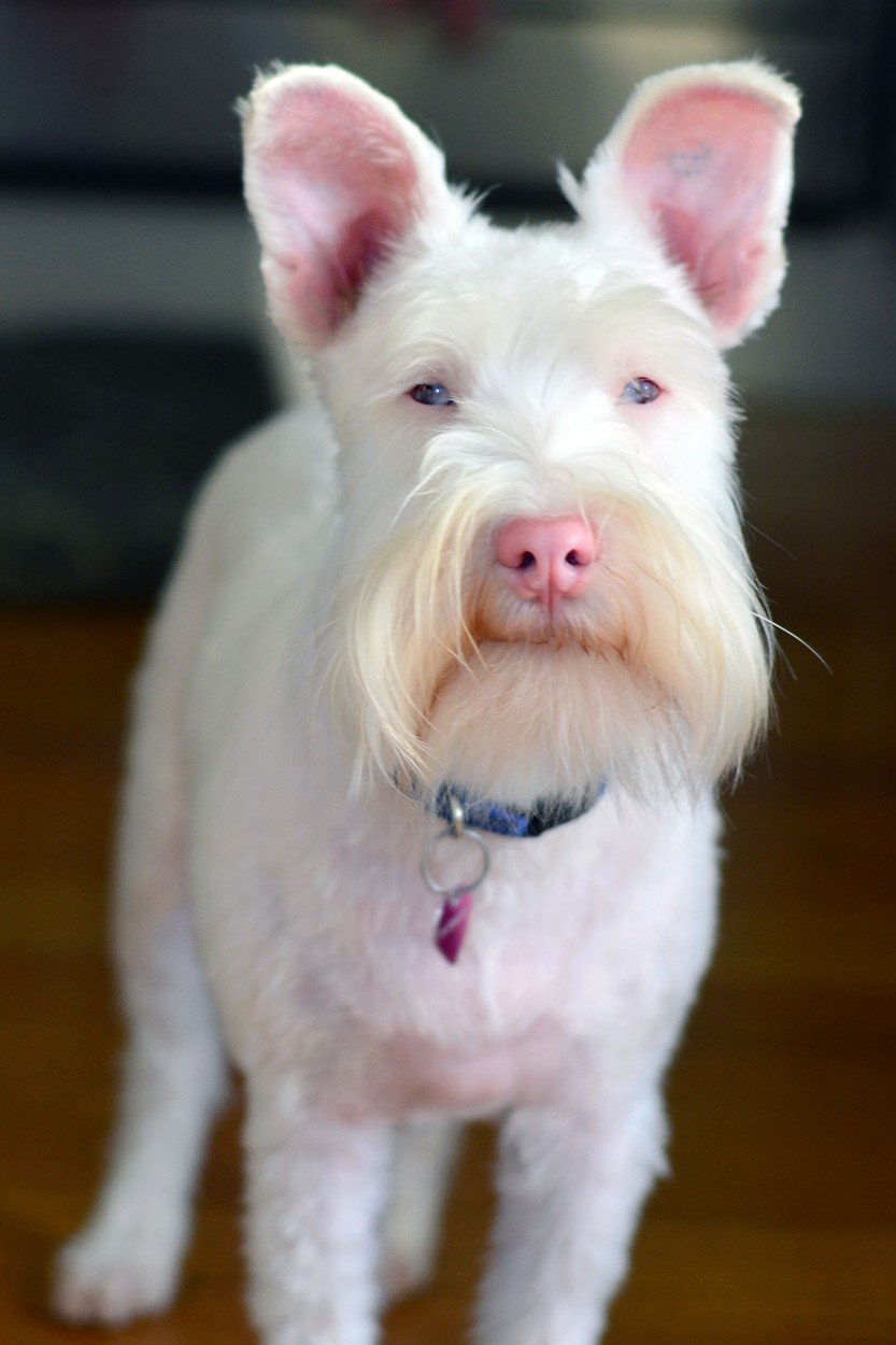 Sherlock the albino schnauzer is the bravest little puppy ... Cute Pitbull Puppy Black